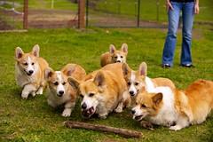 Corgi Puppies 54