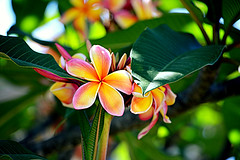 Frangipanis (Rebecca Marion) Tags: pink flowers blue summer sky orange white plant flower tree green nature leaves yellow garden outside petals plumeria frangipani frangipanis