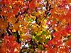 autumn colours (juanpablo.santosrodriguez) Tags: autumn red wallpaper tree verde green fall yellow hojas arbol rojo amarillo otoño leafs fondodeescritorio