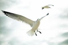 Freedom Inc. (paulo007) Tags: ocean park sky beach birds freedom nikon cloudy grove seagull nj shore jersey asbury inc oceangrove d7000
