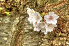 Cherry Blossom HDR (Brandon Kopp) Tags: flower washingtondc dc nikon hdr d300 18200mm photomatix
