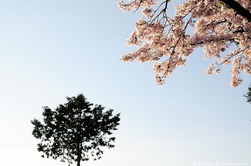 阿里山櫻花季27