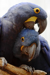 Hyacinth Macaws Grooming (Redux) (jpmatth) Tags: color bird 20d animal digital canon eos zoo lenstagged stlouis parrot missouri stlouiszoo macaw 2008 hyacinth 2012 redux reprocessed ef300mm40lis