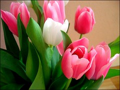 """ Mothers Day "" Flowers (* Janets Photos *) Tags: uk pink flowers white green flora colours tulips mothersday masterphotos artisticflowers takenwithlove excellentsflowers theperfectpinkdiamond mindigtopponalwaysontop lovelyflickr theoriginalgoldseal goldenachievement"