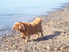 2012 - 27.3.12 Prestwick (80) (marie137) Tags: houses sea people dog sun game beach water coffee animals shop landscape fun scotland sand ben shepherd pebbles german splash gsd marie137
