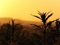 Entardecer dourado (Luciana Parizotto) Tags: pordosol plantas natureza paisagem céu entardecer