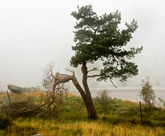 Pine tree (Photocalle) Tags: tree fog pine sweden tall