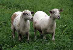 Nice-looking ewe lambs (baalands) Tags: hair sheep pasture lambs katahdin replacements ewe