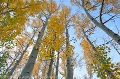 Golden Aspens, Bishop Canyon (Eastern Sierra) (Robin Black Photography) Tags: california autumn tree yellow forest landscape gold golden fallcolor grove ngc perspective wideangle aspens tall aspen sierranevada hwy395 bishop overhead naturesbest highsierra nationalgeographic highway395 easternsierra whitebark populustremuloides rangeoflight outdoorphotographer bishopcanyon canon5dmarkii robinblackphotography