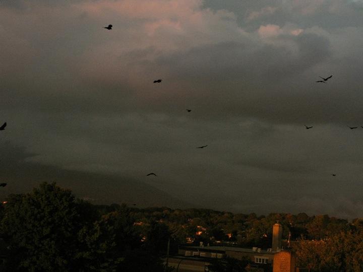 vancouver crow migration 005