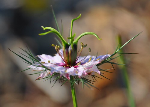 10-10-11 Love in a Mist by roswellsgirl