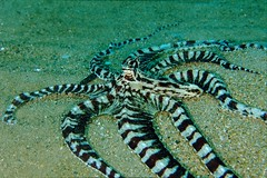 Mimic Octopus Swimming Mimic Octopus Pacificklaus