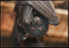 Black Flying Fox (JimbobEdsel) Tags: animals zooanimals blackflyingfox canon40d
