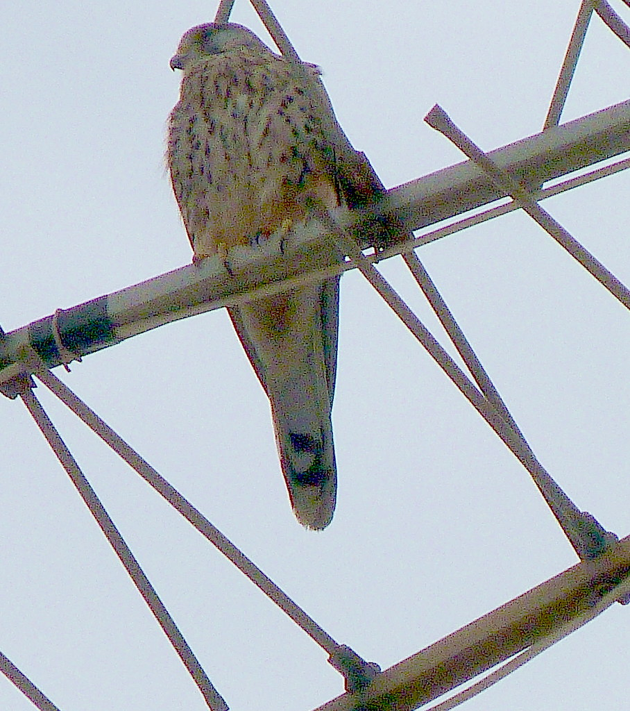 12-10-2011-is-this-a-kestrel