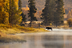 Bull moose crossing the river (Deby Dixon) Tags: morning travel mist nature river landscape outdoors photography nationalpark nikon crossing wildlife moose bull adventure snakeriver wyoming tetons deby allrightsreserved bullmoose grandtetonnationalpark 2011 cattlemans naturephotographer debydixon debydixonphotography