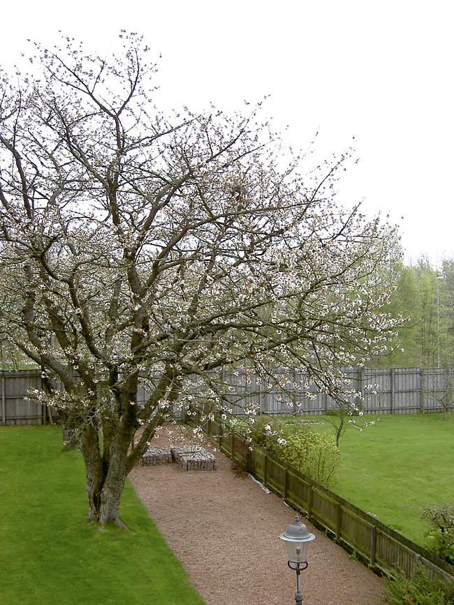 körsbärsträden 2004