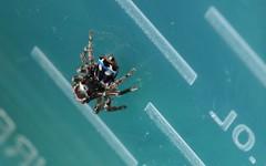 Maratus harrisi (beeater) Tags: spider arachnida salticidae newspecies australianspiders undescribed maratus spidersofaustralia stuartharrisphotography spidersoftheact peacockspiders