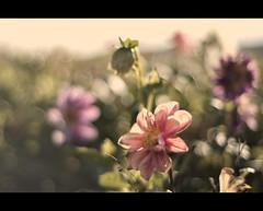 Pastel Flowers (Focusje (tammostrijker.photodeck.com)) Tags: flowers light blur flower holland color netherlands field 50mm back bed soft pastel romantic depth backlighting