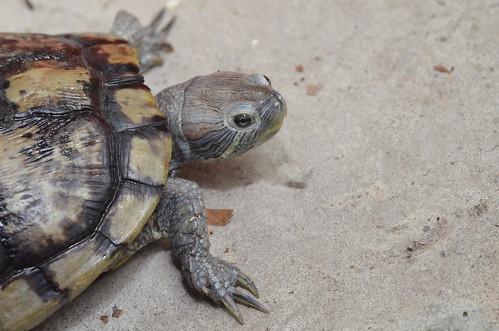雄巴西龜的指甲修長,成龜龜殼和花紋顏色都轉為暗淡。圖:呂軍逸