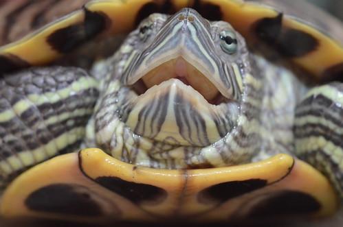 巴西龜長大後個性兇猛貪吃,對台灣原生水生動物造成威脅,飼養前應三思。圖:呂軍逸。