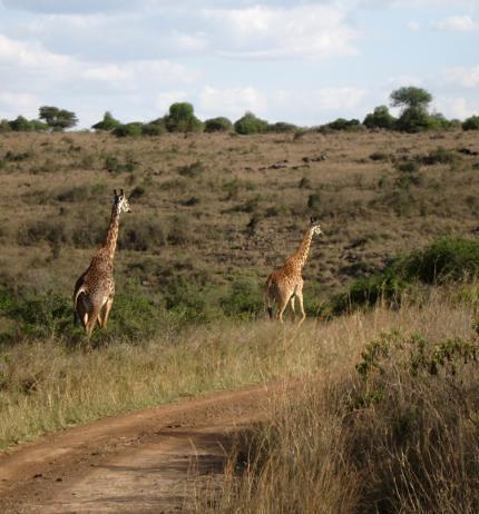 giraffe safari kenya africa nairobi
