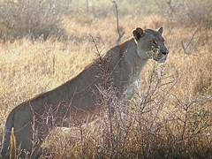 Hlane National Park (Globetreka) Tags: africa lions swaziland wildanimals hlanenationalpark mygearandme mygearandmepremium mygearandmebronze blinkagain