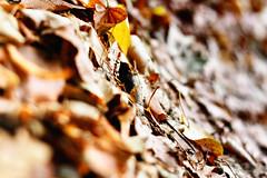 yapraklarn her yan hzne bakar.. ({esmaLle}) Tags: autumn color yellow sadness leaf october silence sar ekim hzn sonbahar yaprak renkler izgiler sessizlik