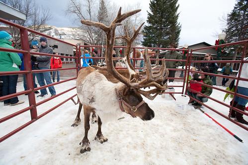 Reindeer in Aspen