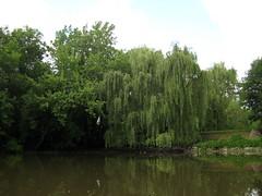Parc de la Rivière-des-Mille-Îles, 11 September 11, willow on Île Gagnon