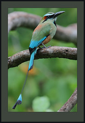 Turquoise-browed Motmot (Eumomota superciliosa) (Rainbirder) Tags: costarica ngc guanacaste turquoisebrowedmotmot eumomotasuperciliosa specanimal avianexcellence rainbirder
