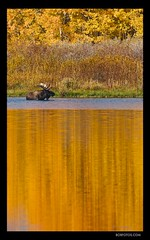 WaterColor Moose  __Robert Howell (Robert Howell _) Tags: autumn trees orange color fall colors yellow watercolor montana moose foliage fourseasons yellowstone wyoming aspen tetons abigfave roberthowell spiritofphotography ringexcellence bobfotos roberthowellphotography