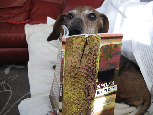 Scarlet the Wiener Dog reading 98 Wounds by Justin Chin