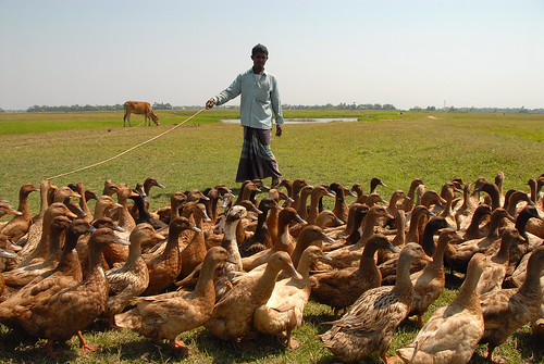 Rearing ducks, Bangladesh. Photo by WorldFish, 2007