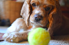Does your dog love tennis as much as mine does? (WilliamMarlow) Tags: dog dogs cc creativecommons cocker winston