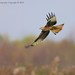 Red Kite @ Argaty4