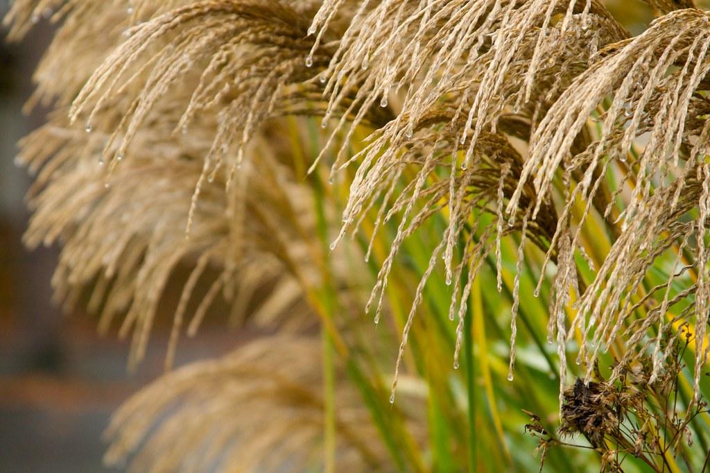 miscanthus malepartus in rain  846