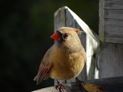 DSC01262 (rhombidec) Tags: female cardinal baltimore sonydschx100v