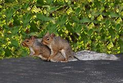 Squirrels Mating (KoolPix) Tags: nature animals squirrels mating naturesbest naturephotography animalsmating squirrelsmating koolpix dailynaturetnc11 jayd dailynaturetnc13 wcswebsite photocontesttnc14 dailynaturetnc14