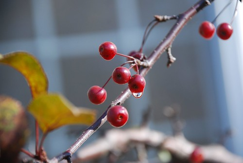 Little Crab Apples