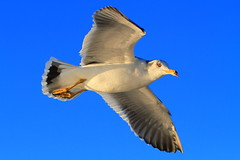 Seagull in Flight (♥ Spice (^_^)) Tags: november blue sky white color macro bird art animal japan canon geotagged photography flying photo wings asia flickr image wordpress seagull picture feather livejournal 日本 空 skyblue facebook 鳥 かもめ 写真 宮城県 青空 seagullinflight 羽 鴎 twitter bulesky miyagiprefecture 一眼レフ tumblr キャノン 飛んでいる マクロ カラー カモメ gettyimagesjapan12q1