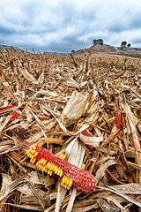 Corn field after harvest (Xavier Farre) Tags: paisaje mazorca agricultura