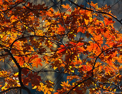 Colors of Fall - Red Oak (GAPHIKER) Tags: leaves backlit redoak delawarewatergap dwg