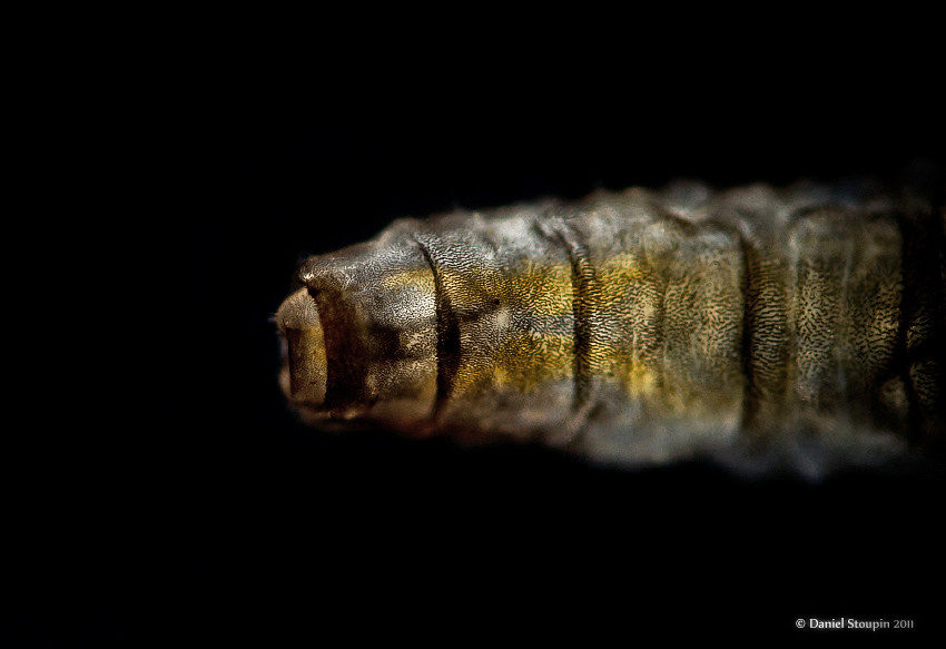 Shore fly larva