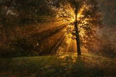 Tree with Morning Sunburst (Greg from Maine) Tags: morning mist texture nature fog sunrise maine foggy sunburst acadia mountdesertisland mdi acadianationalpark sealharbor sealharbormaine bestcapturesaoi elitegalleryaoi pipexcellence artistoftheyearlevel2 masterclasselite