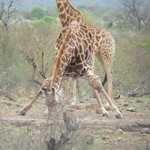 "Giraffe Drinking <a style=""margin-left:10px; font-size:0.8em;"" href=""http://www.flickr.com/photos/14315427@N00/6346460055/"" target=""_blank"">@flickr</a>"