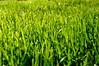 césped #2 (juanpablo.santosrodriguez) Tags: wallpaper macro verde green grass cesped fondodeescritorio pastrana