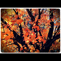 November 8, 2011 {365-312} (dmacphoto) Tags: california autumn orange tree fall oneaday leaves yellow golden photo leaf photoaday 365 deciduous autumnal 4s pictureaday iphone fairoaks project365 danielmacdonald lomob dmacphoto iphoneography danielmacdonaldphotographer dmacphotocom iphone4s