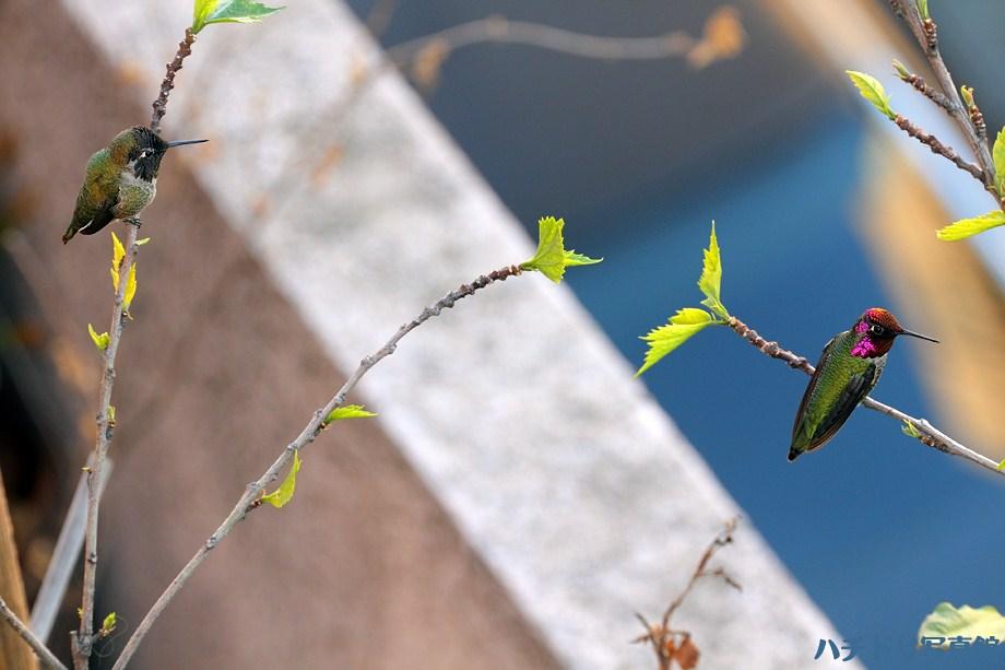 Anna's Hummingbird 111611-2