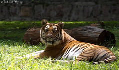 "Tiger • <a style=""font-size:0.8em;"" href=""http://www.flickr.com/photos/41711332@N00/6353416655/"" target=""_blank"">View on Flickr</a>"