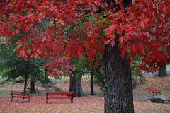 Did you ever just sit and talk to a tree? (jackandphyl off line) Tags: autumn red color tree fall leaves rain oak springs parkbench redoak week46 whittington parkhot 52oftwentyeleven mostlyonecolor